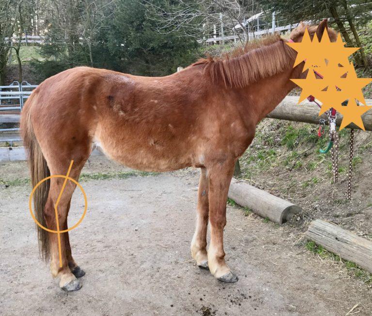 Dieses Pony hat generell eine eher steile Gliedmaßen-Stellung. Sprunggelenk und Knie sind dennoch als etwas zu gestreckt zu beurteilen.