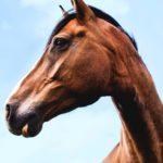 Warum hat ein Pferd kein Schlüsselbein? Der Hauptgrund ist vermutlich die Stoßdämpfung durch eine muskuläre Rumpf-Bein-Verbindung.